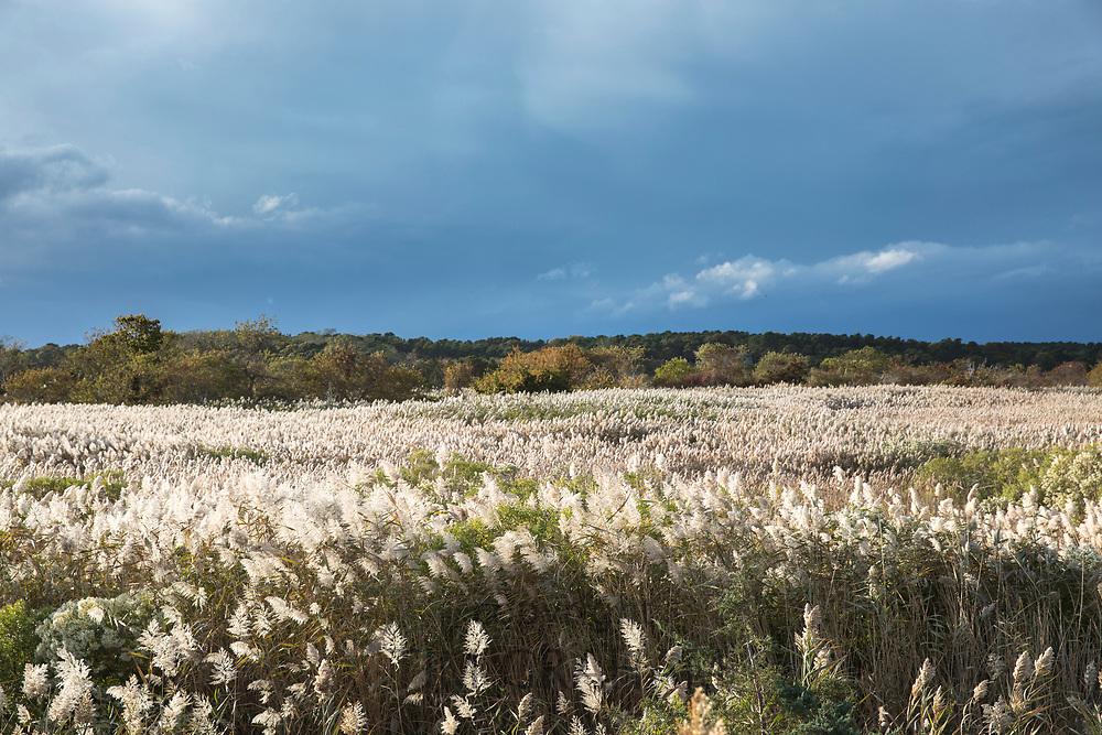 Reeds in salt marsh on Cape Cod, Massachusetts, USA