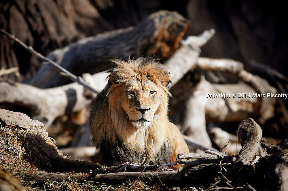 SHOT 2/16/14 2:52:58 PM - Raja, a male African Lion, soaks up the sun while waiting to be fed one afternoon at the Denver Zoo in Denver, Co. The lion (Panthera leo) is one of the four big cats in the genus Panthera and a member of the family Felidae. With some males exceeding 250 kg (550 lb) in weight, it is the second-largest living cat after the tiger. The lion is a vulnerable species, having seen a major population decline in its African range of 30&ndash;50% per two decades during the second half of the 20th century. Highly distinctive, the male lion is easily recognised by its mane, and its face is one of the most widely recognised animal symbols in human culture.<br /> (Photo by Marc Piscotty / &copy; 2014)