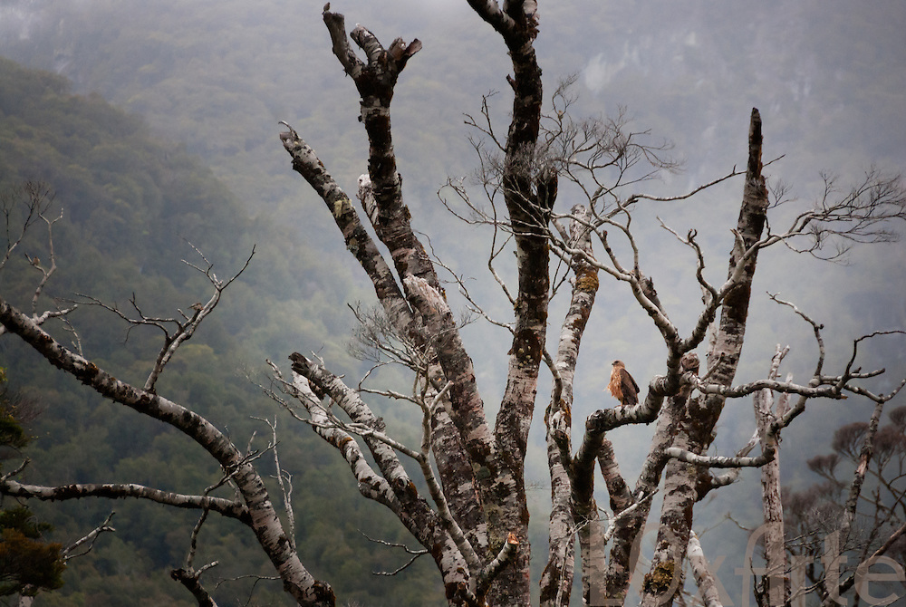 Australasian Harrier standing camouflaged on a dead branch on a misty morning in the Southern Lakes District near Te anau on New Zealand's south island.
