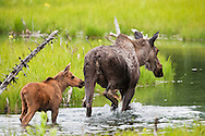 Cow Moose (Alces alces) with calf in tow walking in pond near Albert Loop Trail of the Eagle River Nature Center in Chugach State Park in Southcentral Alaska. Summer. Afternoon.