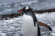 Gentoo penguins (Pygoscelis papua). Gentoo penguins grow to lengths of 70 centimetres and live in large colonies on Antarctic islands. They feed on plankton, fish and cephalopods (such as squid), and have an elongated beak that allows them to take larger prey than any other penguin. Photographed on Half Moon Island, Antarctica