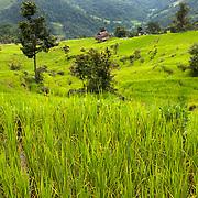 Nepal 2014. Pangma. Rice fields