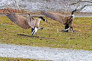 Canada goose angrily chasing an other Canada goose