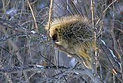 Porcupine (Erethizon dorsatum) in tree <br />ELk Island National Park<br />Alberta<br />Canada