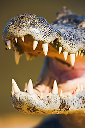 While sunning itself, a yacare caiman ( Caiman yacare) close-up with mouth open exposes its teeth, Mato Grosso, Pantanal, Brazil,South America