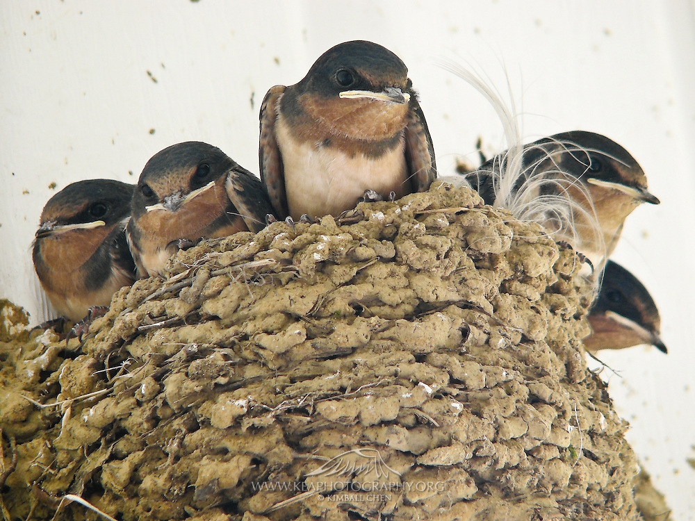 juvenile Barn Swallows in a mud nest, North America