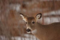 There were dozens of deer wandering around in the woods while I was at Carburn Park.  Although they completely ignored me (they are very used to people being around in the park) they were very skittish while a pair of coyotes was in the vicinity...©2009, Sean Phillips.http://www.Sean-Phillips.com