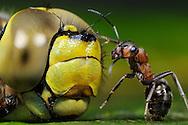 DEU, Deutschland: Rote Waldameise (Formica polyctena), entdeckt eine tote Libelle, erst nachdem sie ihre Artgenossen informiert hat, und sie mit vereinten Kraeften die Libelle abtransportieren koennen, oder sie vorort zerlegen und in kleinen Stuecken ins Nest transportieren, wird die Libelle zur Beute, sie ist dann Futter fuer die Brut, die Proteine benoetigt, Freiburg, Baden-Wuerttemberg | DEU, Germany: European wood ant (Formica polyctena), finding a dead dragonfly, only after it informed the conspecifics and the dragonfly is removed or separated, the dargonfly becoming a prey, now it is feed for breed, which need proteins, Freiburg, Baden-Wurttemberg |