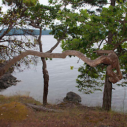 Crazy Tree, Jones Island, San Juan Islands, Washington, US