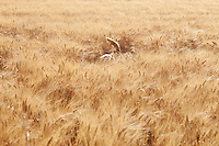 Tail of a mixed breed Golden Retriever-Poodle in a field Kent
