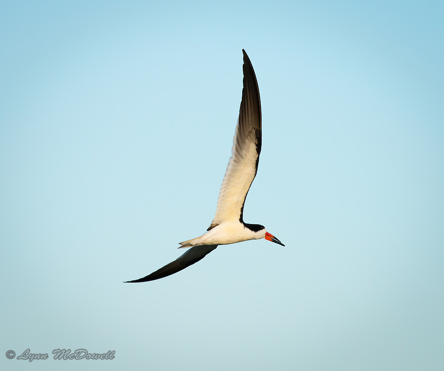 Black Skimmer soaring around for another fishing run