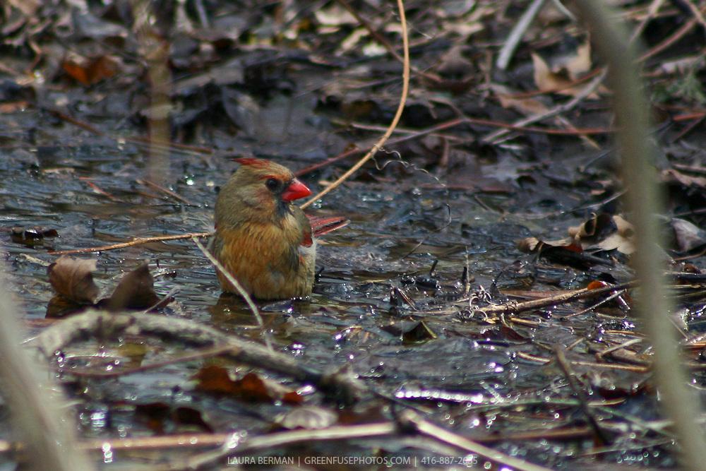 Female Cardinal taking a bath (Cardinalis cardinalis)