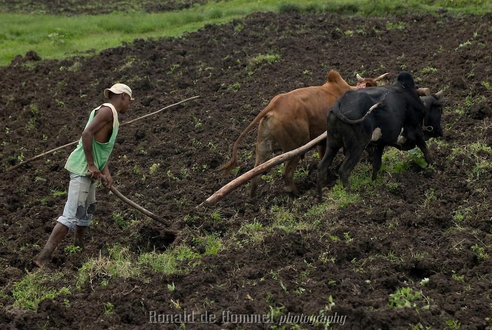 Labour à l'ancienne avec charrue et boeufs. Les agriculteurs se regroupent pour l'ensemble des travaux des champs. Ambo.