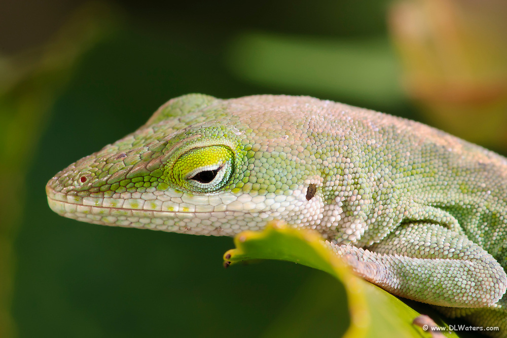 Close up picture of a Green Anole basking in the sun.