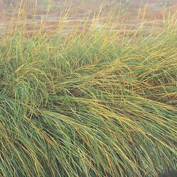 "Grasses in a New Hampshire salt marsh. Tidal marsh.  ""Massacre Marsh.""  New Hampshire Seacoast. Rye, NH"
