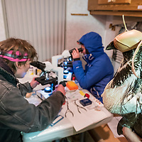 Wyoming Game & Fish and North Dakota Game & Fish conduct a night trapping of both male and female Greater Sage-Grouse in part of translocating birds to North Dakota. Hens will gone through artificial insemination process before being shipped off by airplane.
