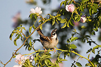 Tree Sparrow courting, Passer montanus, in rose bush, Slovakia, Europe, Feldsperling balzt in Rosenbusch, Passer montanus, Slowakei, Europa