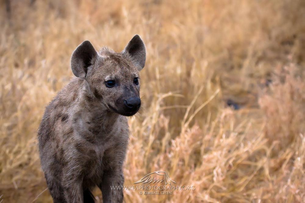 Spotted Hyena, juvenile