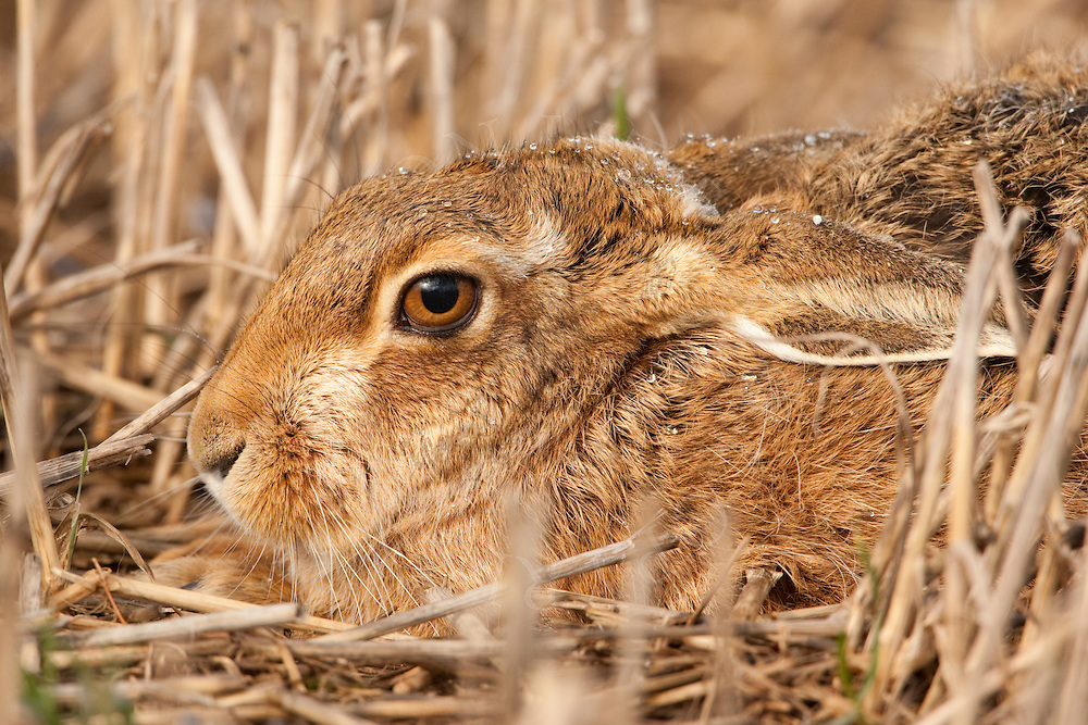 European Hare (Lepus europaeus) adult lying in stubble field, winter, Norfolk, UK