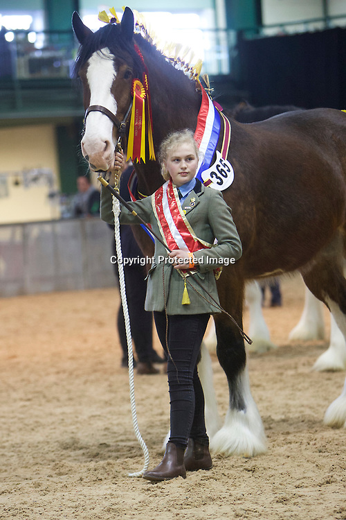 Shire Horse Society Spring Show 2017  <br /> Champion Young Handler 13 year old Alice Ford