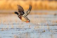 A Mallard duck at the Delta Marsh, early Thursday, April 12, 2012. (TREVOR HAGAN)