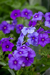 Phlox drummondii 'Moody Blues' - Annual Phlox