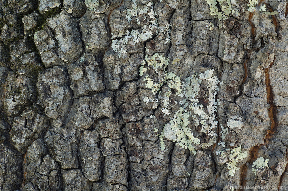 Bark patterns of Emory oak (Quercus emoryi), Coronado National Forest, Arizona