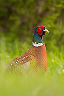 Common Pheasant (Phasianus colchicus) adult male in field margin, Norfolk, UK.