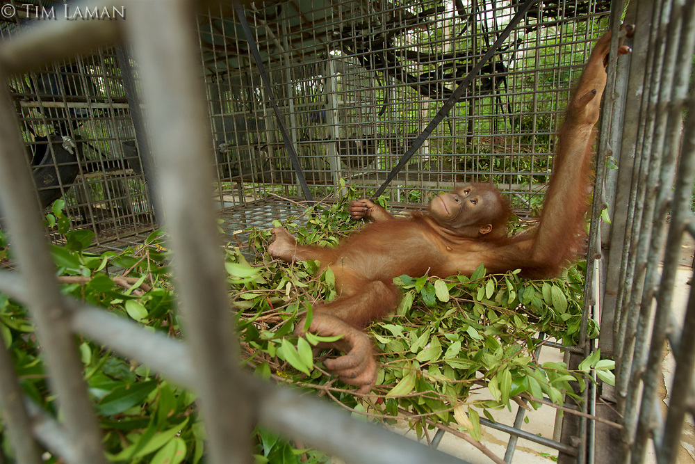 A juvenile orangutan rest in a nest he built in his cage at IAR<br /><br />International Animal Rescue (IAR)<br />Ketapang<br />West Kalimantan Province<br />Island of Borneo<br />Indonesia