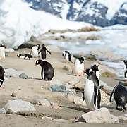 Gentoo penguins on the narrow shoreline at Neko Harbour on the Antarctic Peninsula.