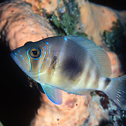 Barred Hamlet inhabit reefs in Tropical West Atlantic; picture taken Roatan, Honduras.