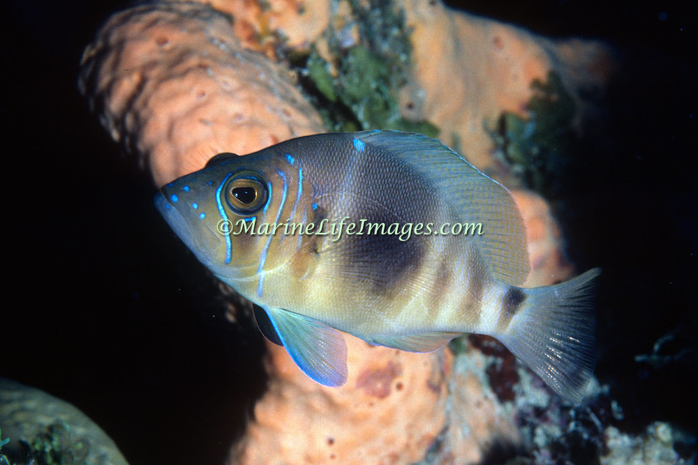Barred Hamlet inhabit reefs in Tropical West Atlantic; picture taken Roatan, Honduras.