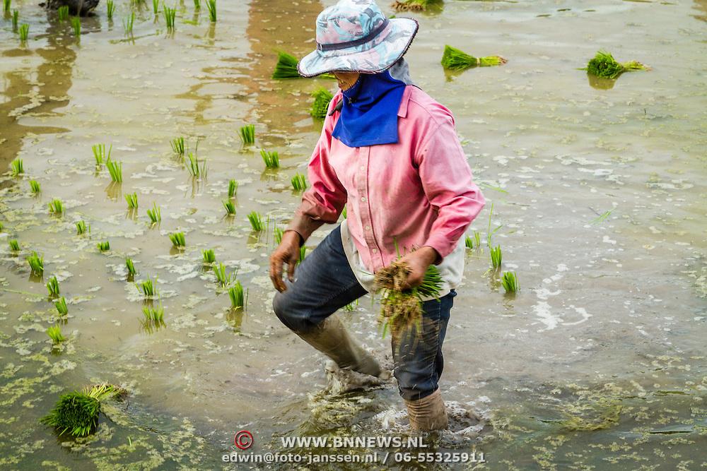 THA/Bangkok/20160729 - Vakantie Thailand 2016 Bangkok, rijstplukkers, rijst,