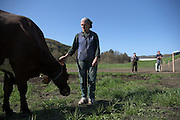 """""""It's like giving all your children up for adoption,"""" said Joan Wortman as she watched her cows play and graze on their first day on pasture in the spring only three days before the herd dispersal auction Wednesday, May 11, 2016. Joan's daughter, Kylie Preisinger, and husband, Craig Wortman, watch from outside the fence at right. (Valley News - James M. Patterson) Copyright Valley News. May not be reprinted or used online without permission. Send requests to permission@vnews.com."""