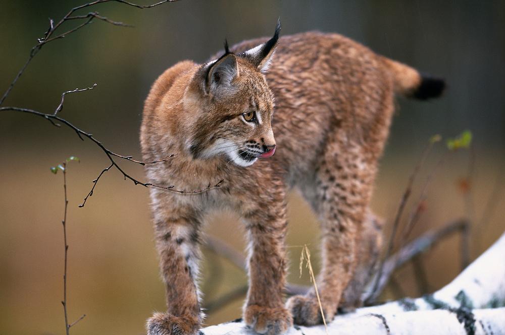 Young European lynx walking along a fallen birch