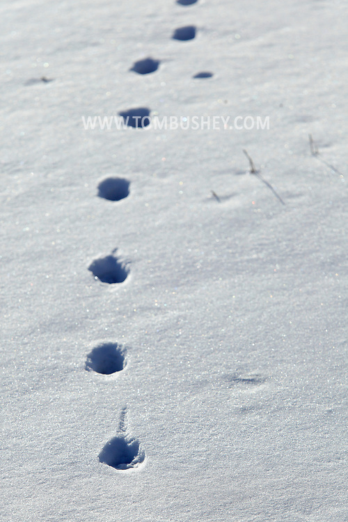 Chester, NY - Animal tracks in the snow at Goose Pond Mountain State Park on Jan. 9, 2010.