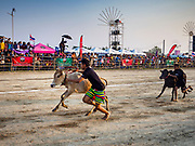 17 FEBRUARY 2018 - BAN LOT, PHETCHABURI, THAILAND: Children race oxen calves in Ban Lat, a community about three hours south of Bangkok. The ox cart races are almost 100 years old, and date back to the reign of King Rama V. The races are run on a 100 meter long straightaway course.   PHOTO BY JACK KURTZ