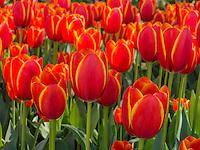Double Toronto tulips, Cheekwood Gardens, Nashville, Tennessee