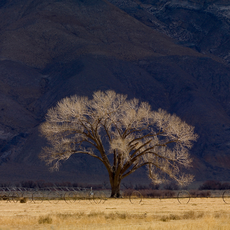 Cottonwood tree Populus freemontii in early spring before any growth occurs near Bishop California