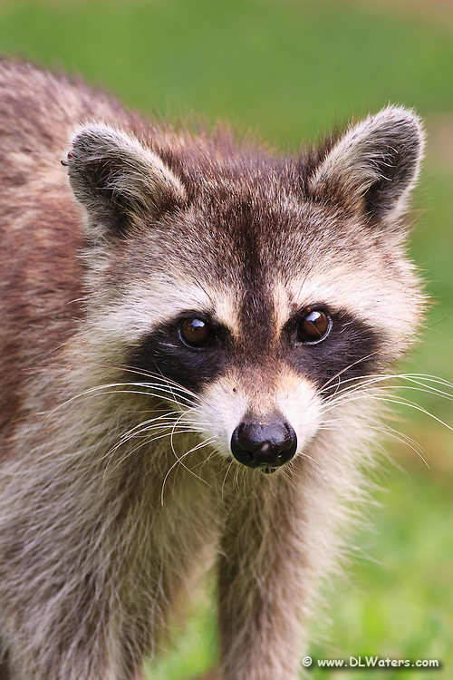 Close portrait of a raccoon in our backyard to raid the birdfeeder.