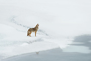 A coyote (Canis latrans) howls during winter, North America
