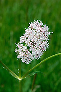 COMMON VALERIAN Valeriana officinalis (Valerianaceae) * Height to 1.5m. Upright, usually unbranched perennial. Grows in grassy, wayside places, beside rivers and in woodland; favours both dry and damp soil, growing tallest in latter situation. FLOWERS are 3-5mm long, the corolla funnel-shaped, 5-lobed and pale pink; borne in dense, terminal umbels (Jun-Aug). FRUITS are oblong with a feathery pappus. LEAVES are lanceolate, toothed and in opposite pairs. STATUS-Widespread and locally common.