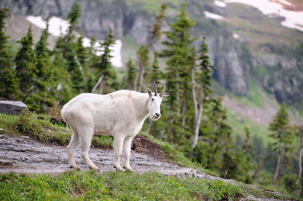 Mountain Goat in an Alpine setting, Northern Montana