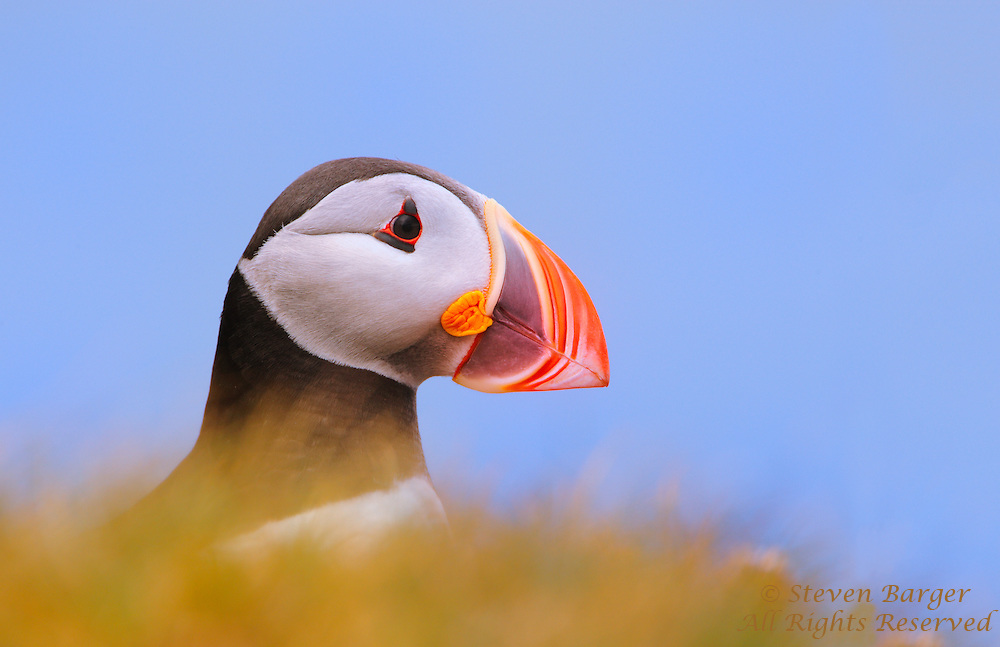 Atlantic Puffin photographed at eye level preched on the edge of a cliff in Iceland peeking over top of clump of golden grass.