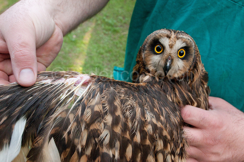 A short-eared owl (Asio flammeus) in which Dr. Ceccarelli has practiced a limping intervention