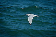 An adult ring billed gull in winter plumage flies low over the water offshore of the Cape Cod National Seashore.