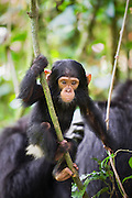 Chimpanzee<br /> Pan troglodytes<br /> One year old infant playing on vine<br /> Tropical forest, Western Uganda