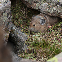 Pika tending hay pile on the Beartooth Plateau, Wyoming.