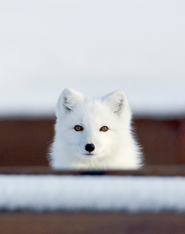 Alaska. Arctic Fox (Alopex lagopus) peering over stored industrial pipe along the Gasline Road in winter, Barrow.