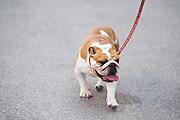 October 20, 2016: United States Grand Prix. Lewis Hamilton\s dog CoCo